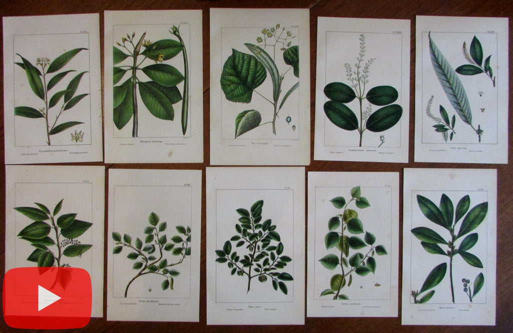 Trees 1859 botanical lot of 10 Sinclair color prints leaves branches hand colored