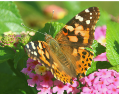 Two Dozen Live Painted Lady Butterflies, Plus 1 Free Butterfly ~ Please read IMPORTANT INFO BELOW before placing an order.