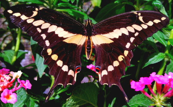 Single Live Giant Swallowtail Butterflies