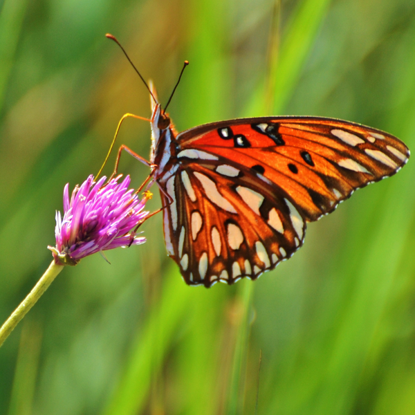 Single Gulf Fritillary Butterflies