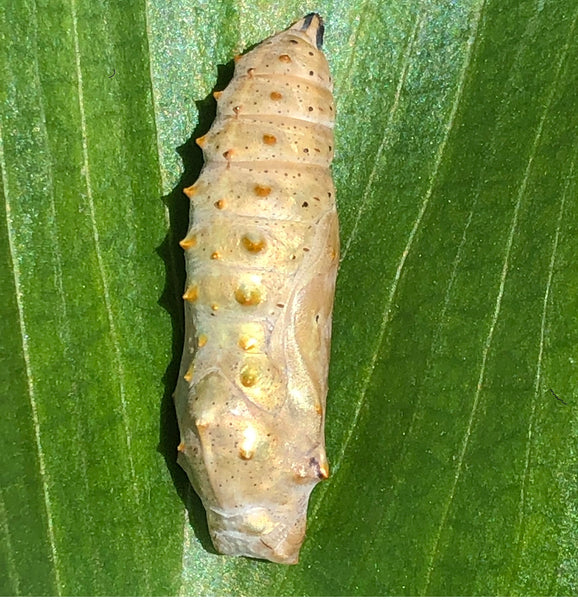 Single Painted Lady Butterfly Chrysalis (Pupa)