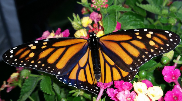 Pre-order Live Monarch Butterflies by the Dozen