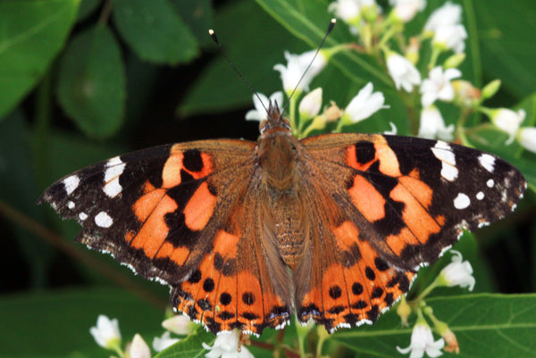 26 Live Painted Lady Butterflies in Individual Release Envelopes