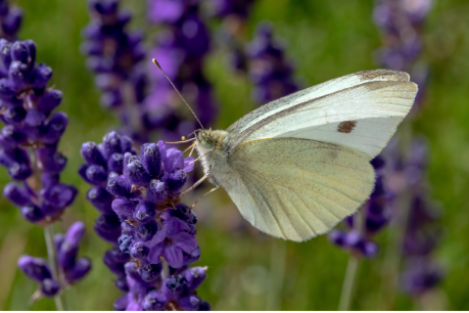 Two Dozen Live White Butterflies (Pieris rapae)