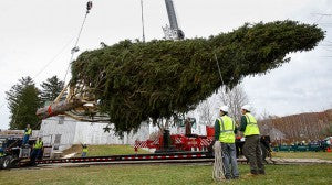 It's local! An 85-foot, 13-ton Norway spruce, which will serve as Rockefeller tree this year, is cut down. (Photo by Mark Stehle/Invision for Tishman Speyer)