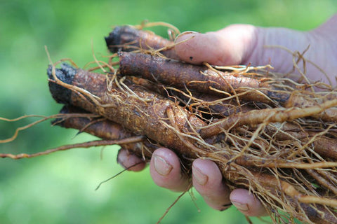 burdock root properties