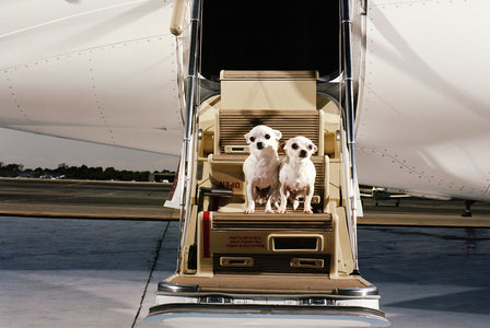 Tips To Make Flying With Pets Safe and Easy   Flea Away