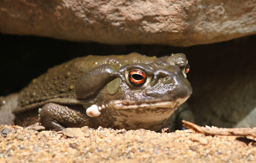 Study: Psychedelic Found In Toad Venom Helps Relieve Depression, Anxiety