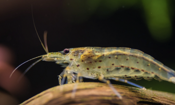 Scientists Find Cocaine And Ketamine In Freshwater Shrimps