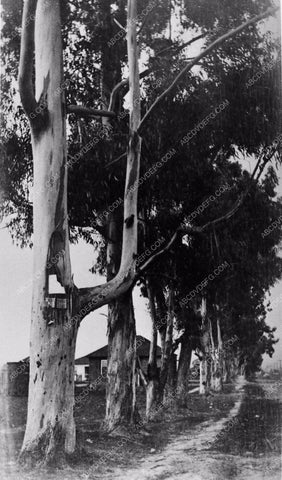 1906 historic Los Angeles Hollywood Eucalyptus trees on Melrose Ave where Paramount Studios is now 2920-05