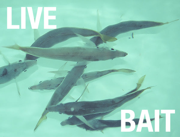 Live Bait Lucky Dipping — Australian Kayak Specialists