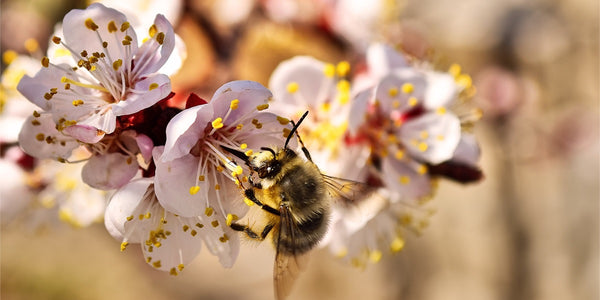 HOW TO HELP BEES & OTHER POLLINATORS