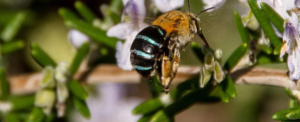 What are Blue-banded bees? And how to attract them to your garden!