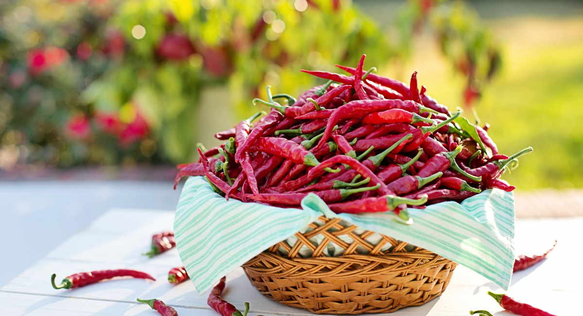 Top Tips for Growing Chillies
