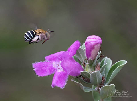 Blog Post - What are Blue-banded bees? | Throw Some Seeds - Australian gardening gifts and eco products online!