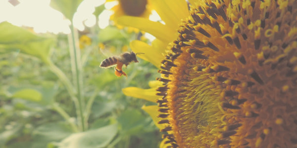 Bee pollinator - sunflowers