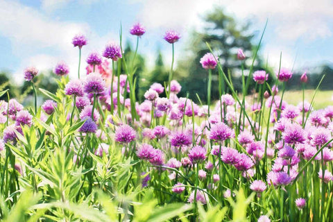 Chives flowering - Chives Seeds | Throw Some Seeds - Australian gardening gifts and eco products online!