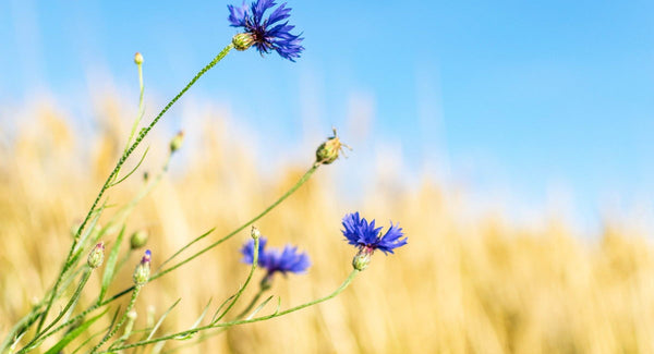 Cornflowers - Blog Post - Throw Some Seeds - Flowers to Plant for Spring Colour | Throw Some Seeds - Australian gardening gifts and eco products online!