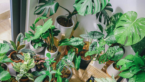 Indoor Plants - How to Care for Indoor Plants in Winter - Blog Post - | Throw Some Seeds - Australian Gardening Gifts & Eco Products Online!