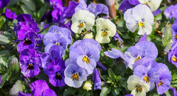 Viola and pansy flowers - Blog Post - Throw Some Seeds - Flowers to Plant for Spring Colour | Throw Some Seeds - Australian gardening gifts and eco products online!