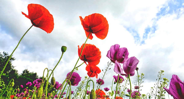 Poppy flowers - Blog Post - Throw Some Seeds - Flowers to Plant for Spring Colour | Throw Some Seeds - Australian gardening gifts and eco products online!