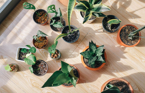 Plants in the sun - How to Care for Indoor Plants in Winter - Blog Post - | Throw Some Seeds - Australian Gardening Gifts & Eco Products Online!