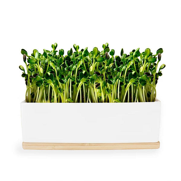Sunflower Sprouts Mini Garden - Windowsill Growing Kit | Urban Greens - Growing Kit - Throw Some Seeds - Australian gardening gifts and eco products online!