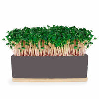 Kale Sprouts Mini Garden - Windowsill Growing Kit | Urban Greens - Growing Kit - Throw Some Seeds - Australian gardening gifts and eco products online!