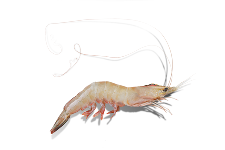 Wild-caught sea prawn