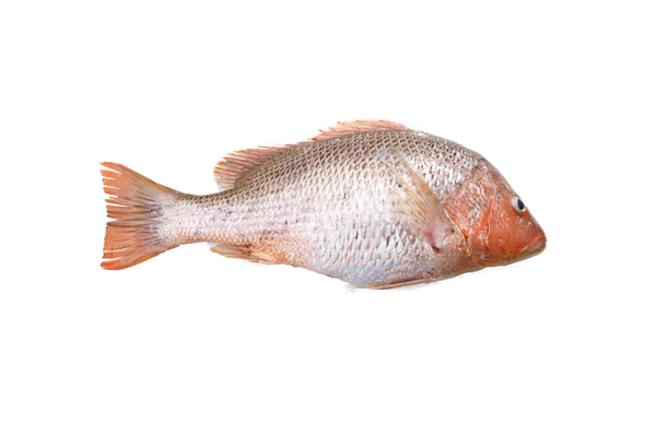 Golden Snapper ( Wild Catch ) 野生红皂