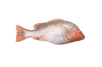 Golden Snapper ( Wild Catch )