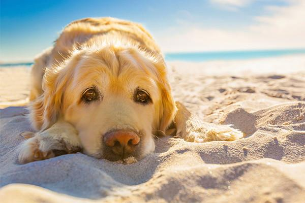 Heat Stroke Treatment For Dogs