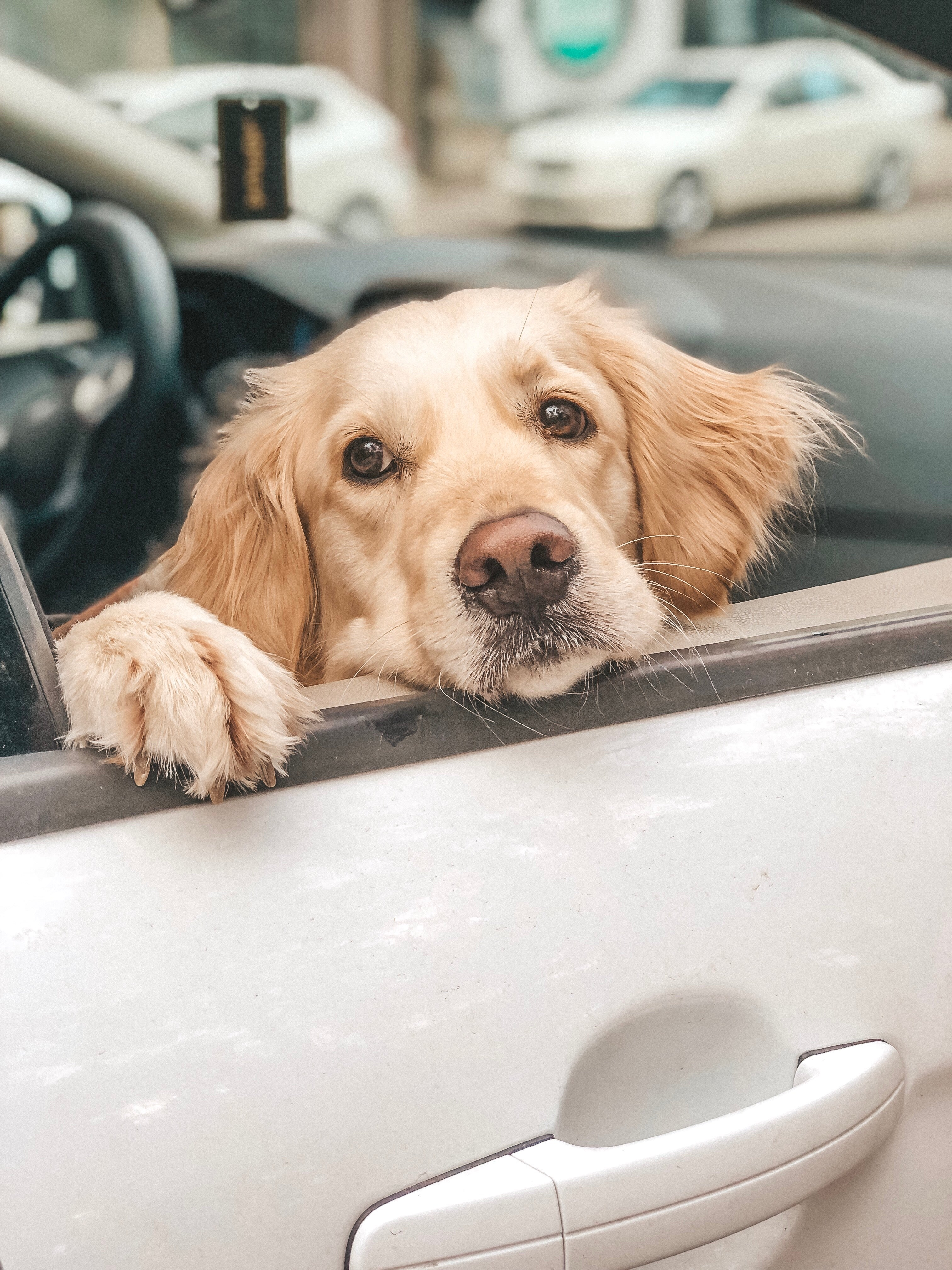What You Should Know About Leaving Your Dog In The Car