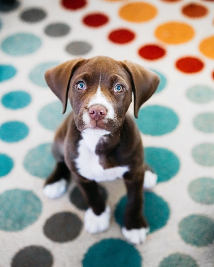 Steps For Bringing A New Puppy Into Your Home