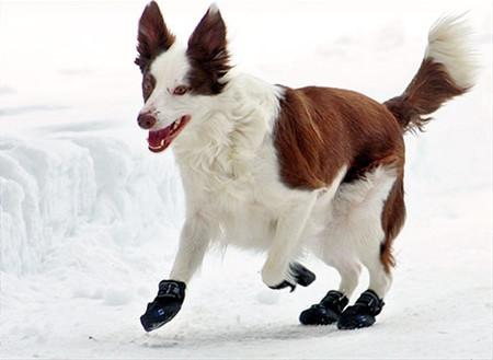 How to Train your Dog to Wear Dog Boots