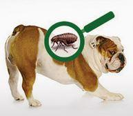 How To Break the Flea Infestation Cycle