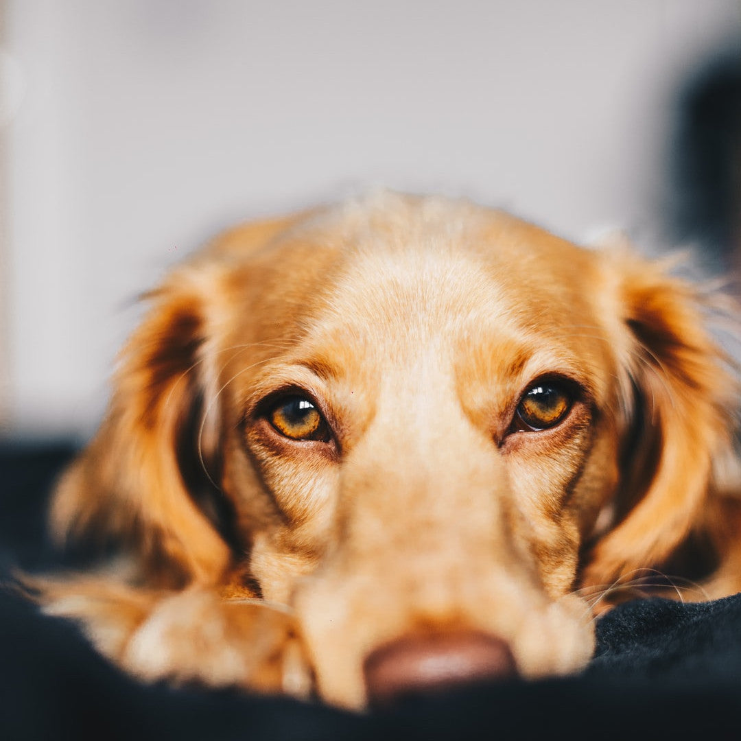 Anxiety in Dogs? It's More Likely Than You Think.