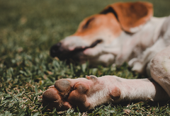 Why Your Dog's Paws Smell Like Corn Chips