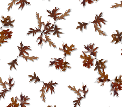 E005 BROWN OAK LEAVES