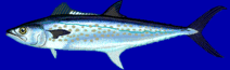 The Fast and Furious Pursuit of Spanish Mackerel