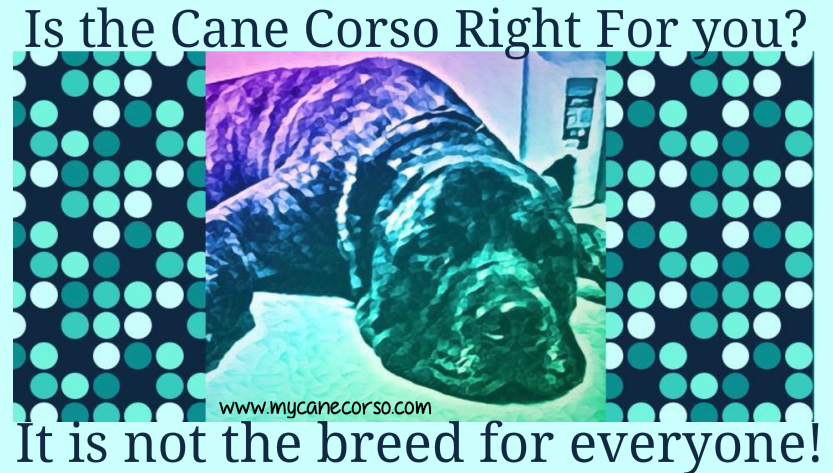 Is the Cane Corso right for you?  It is not a breed for everyone.