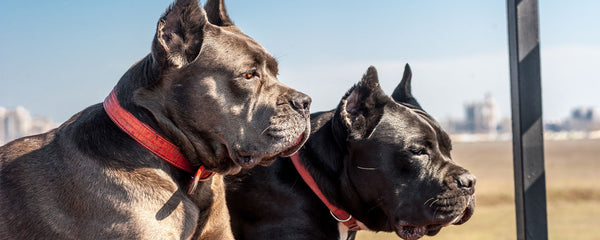 Cane Corso Ears Cropping