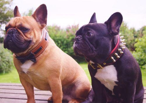 French Bulldogs leather dog collars from Bestia