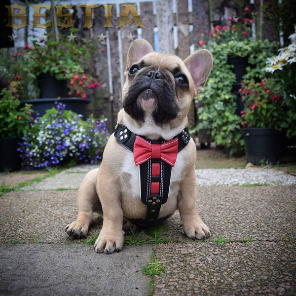 French Bulldog puppy with Bestia Bowtie Harness