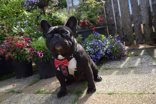 Black Frenchie with Bestia harness