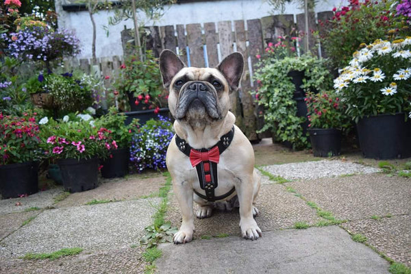 French Bulldog wearing a hand made leather harness by Bestia