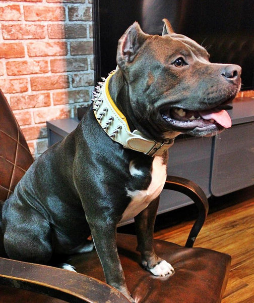 Pitbull with white studded dog collar