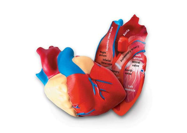 MODELO DE CORAZON HUMANO DE SECCIONTRANSVERSAL - CROSS- SECTION HEART MODEL
