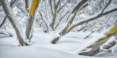 After the storm - snow gums in snow