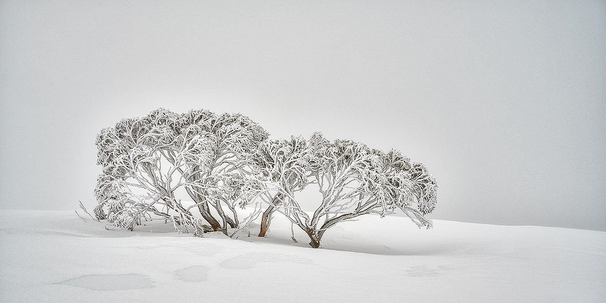 Alpine Spirit - Snow gum covered in snow on Mount Hotham